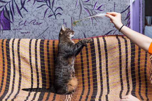A cat plays with a feather toy - one of 5 things to do for your cat today