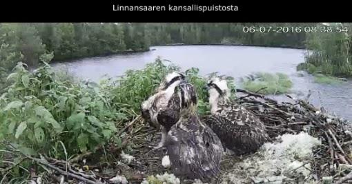 Kalasääski Livekamera