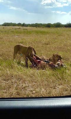 Topi killed by Lion