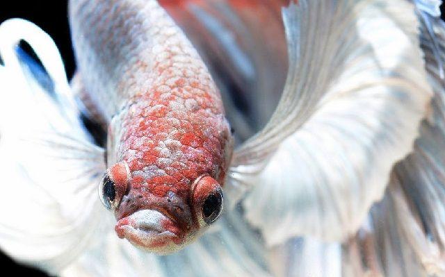 Penyakit Ikan Cupang Berak Putih
