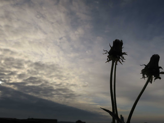 Dandelion flowers and stems against grey, early morning sky.