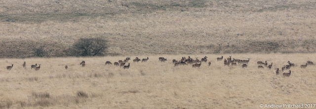 A large number of deer, but only part of the herd wlking through the yellow moorland grass.