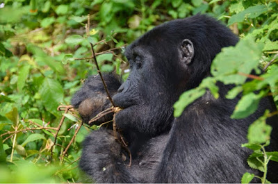 IS GORILLA TREKKING GOOD FOR CONSERVATION?