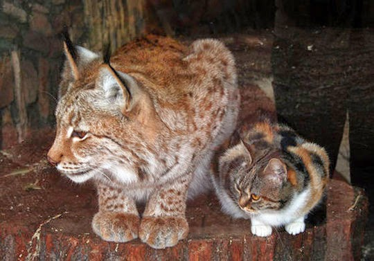cat and lynx friendship