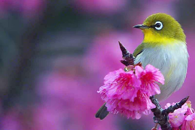 bird in cherry blossoms