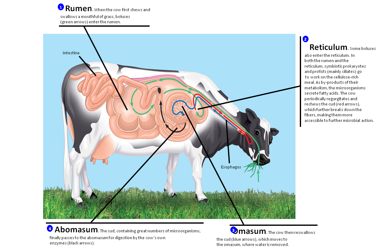 cow digestive tract diagram how to show loop in sequence animal care plc november 2012