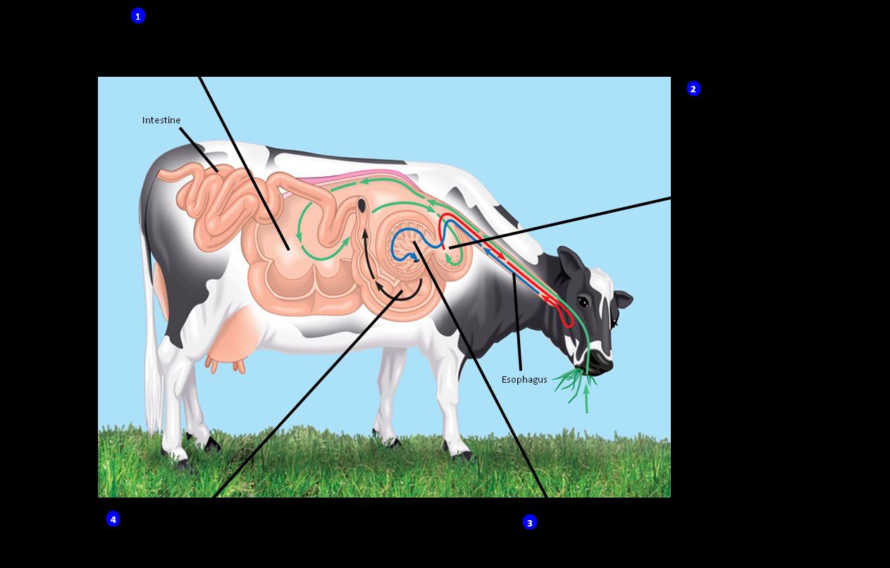Back to Basics: Ruminant Digestive System