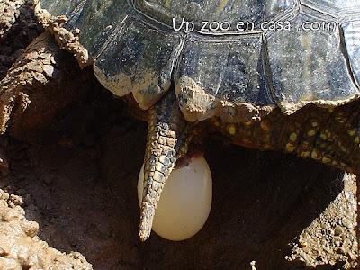 Hembra de tortuga de orejas rojas poniendo un huevo