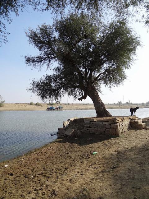 Tree of Life - Jassie Oasis - Jaisalmer, Rajasthan - Pick, Pack, Go