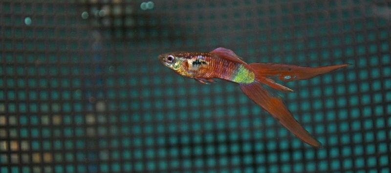 Gambar Ikan Guppy Double Swordtail Warna Merah