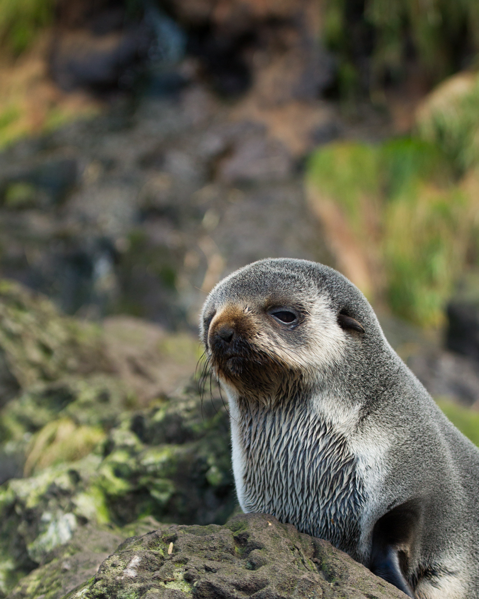 Cute Fat Puppies Subantarctic Fur Seal Chris Gough Island 2015