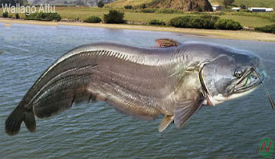 Wallago attu fish, বোয়াল মাছ