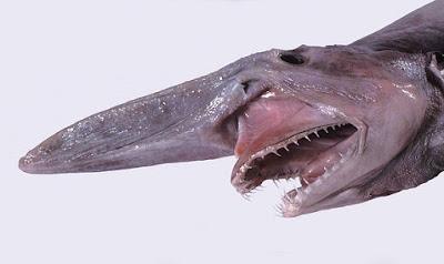 goblin-shark-القرش-العفريت