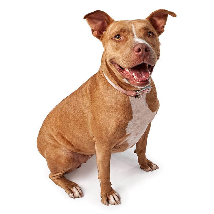 Everything about your American Pit Bull Terrier  LUV My dogs