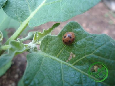 Kumbang kepik pemakan daun tanaman terong