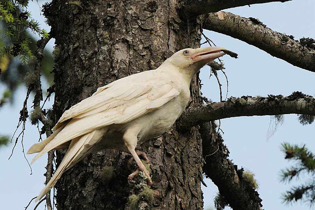 The Rare and Fascinating White Ravens of Vancouver Island