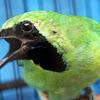 Cara Mengatasi Burung Cucak Ijo Over Birahi