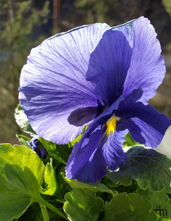 sininen orvokki - blue violet
