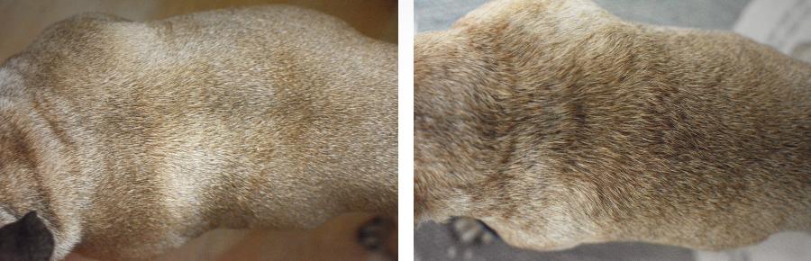Hundeblog Französische Bulldogge Fell