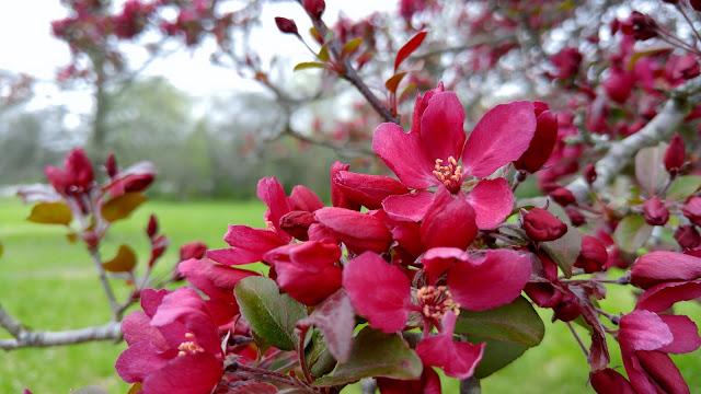 Pretty in Pink blooming Hawthorne tree #spring #gardening