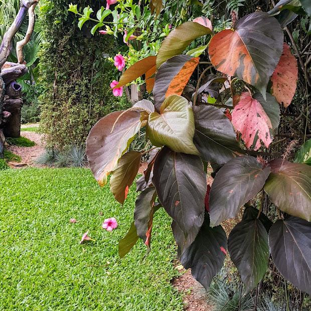 Copper Leaf Macrophylla Year Of Clean Water