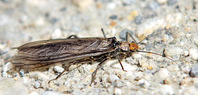Perla, A Beautiful Alpine Stonefly