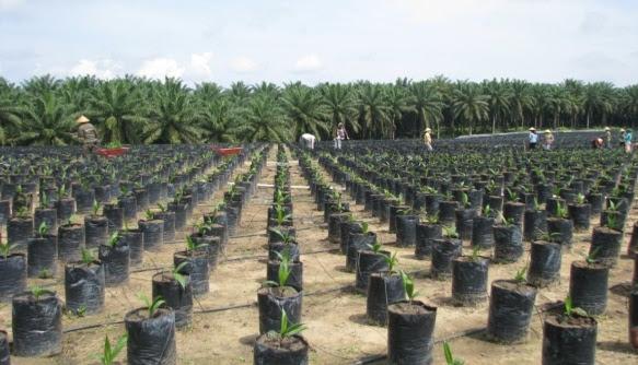 Cara menanam kelapa sawit dari pembibitan hingga panen sawit
