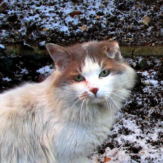 white cat with brown head