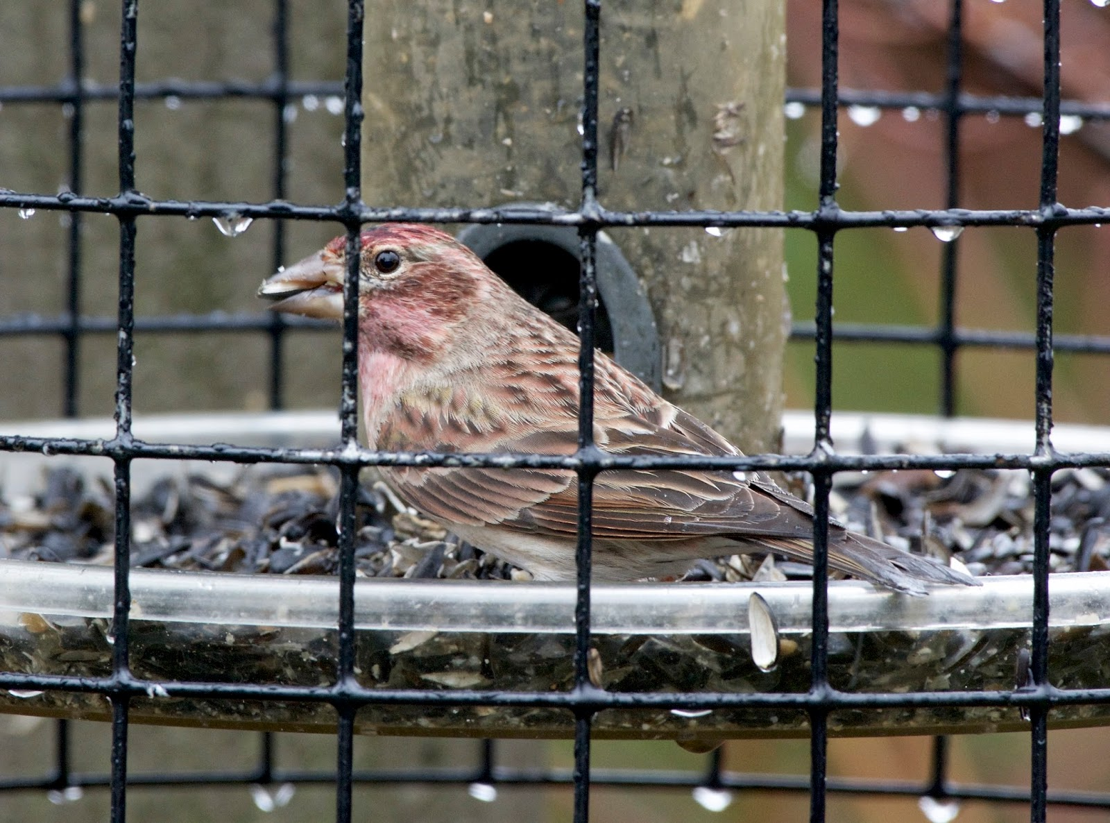 BC Rare Bird Alert: Vancouver Island and the Gulf Islands