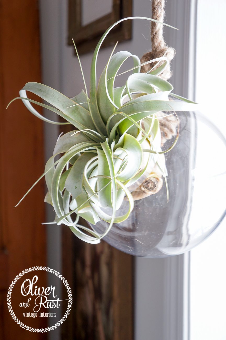 Oliver And Rust The Lovely Xerographica Air Plant Care Helping Hands