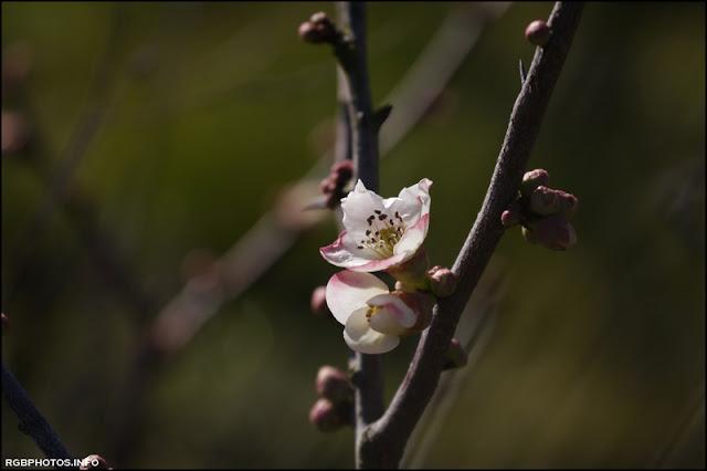 Un fiore di melocotogno fotografato con il Panasonic GX 45-175 mm