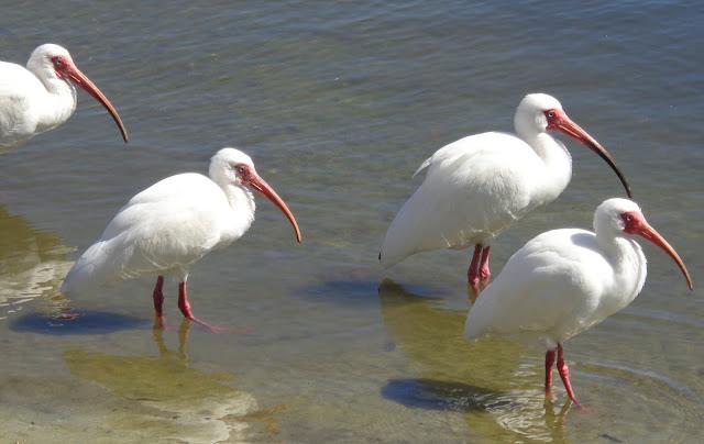 Four ibises wading in lake