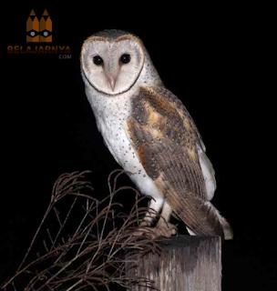 Burung Hantu Barn Owl / Tyto Alba / Serak Jawa