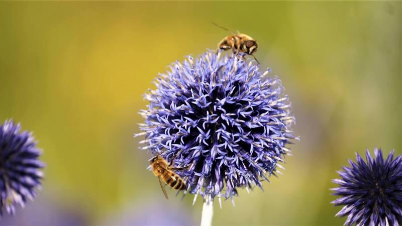 abejas y echinops ritro
