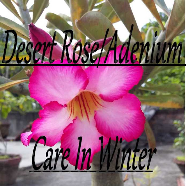 Desert Rose/Adenium Care In Winter