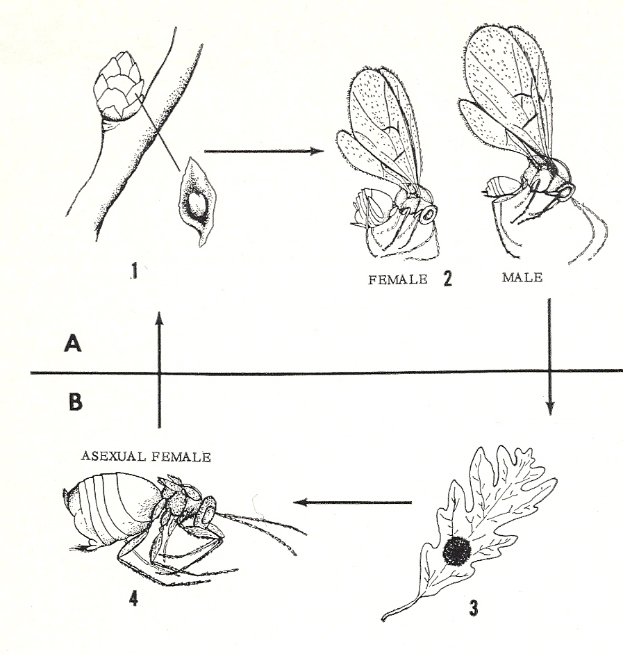 diagram of parthenogenesis