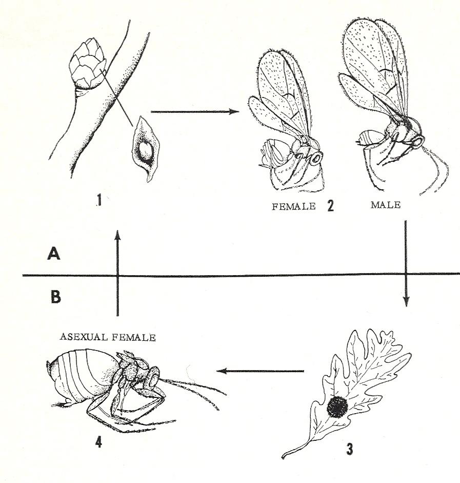 bug eric wasp wednesday gall wasps