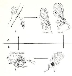 diagram of parthenogenesis