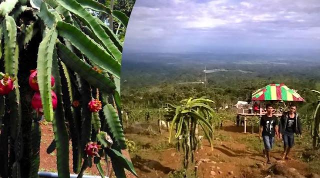 Kebun Buah Naga Jolong, Tempat Wisata Ngehits di Pati