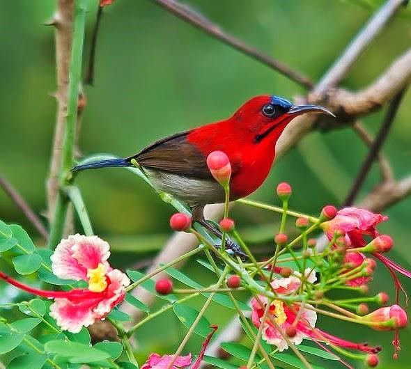 Birds Sunbird: Birds Of The World: Crimson Sunbird
