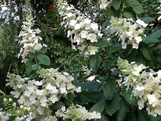 kwiatostan hortensji bukietowej Tardiva, białe kwiaty