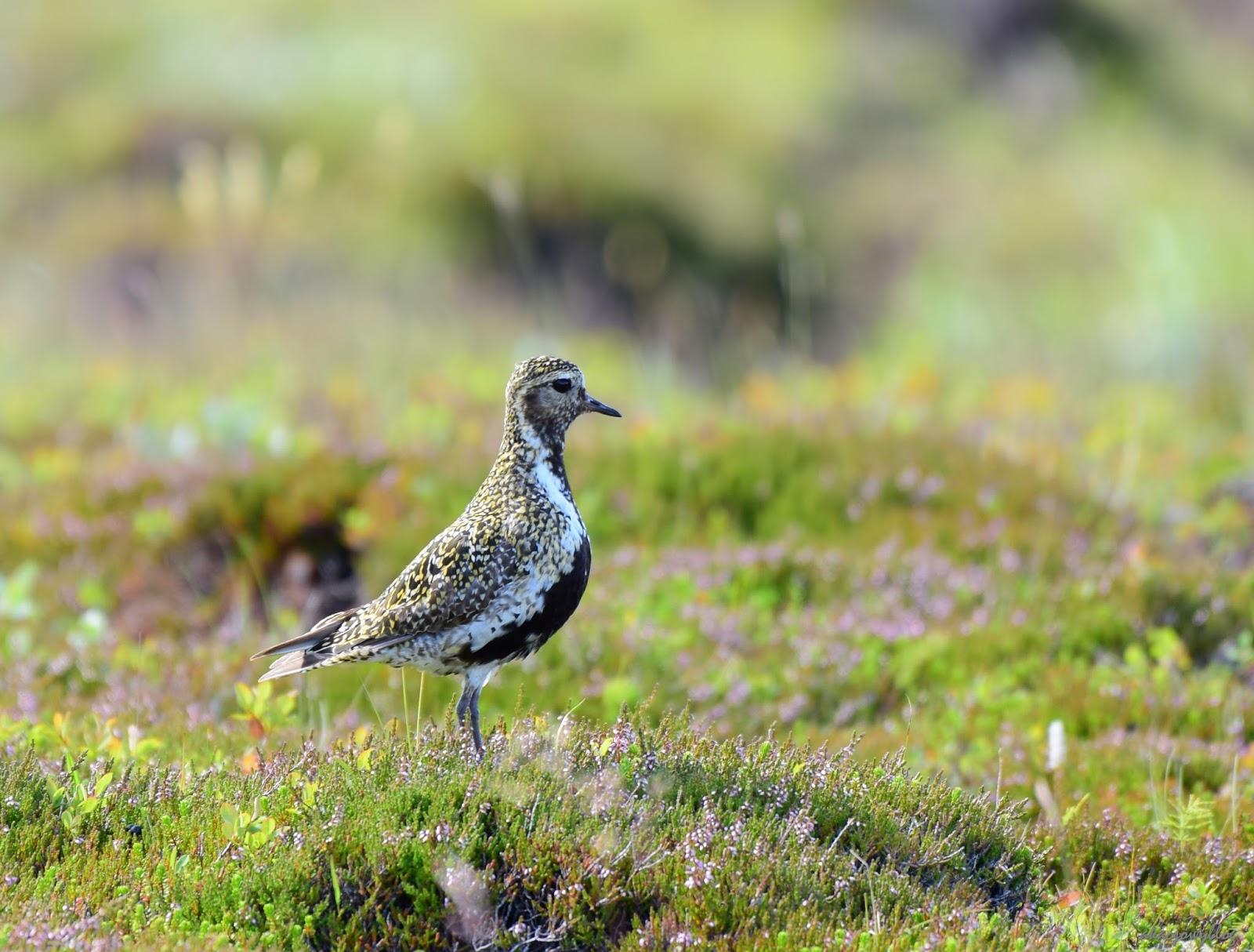 Ptaki Islandii - część 3.