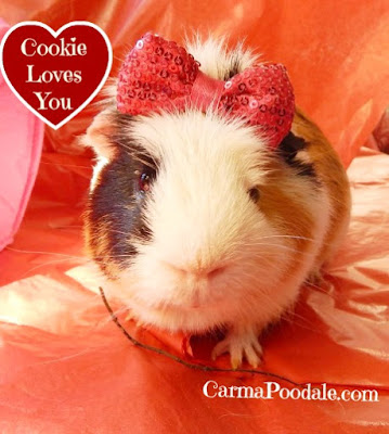 Cookie the guinea pig smiling