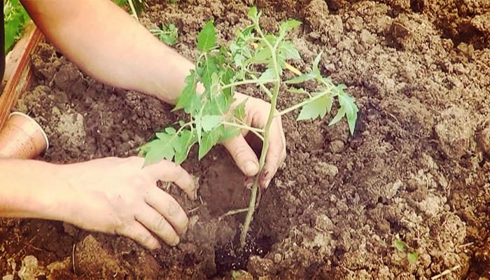 Como sembrar plantas de tomate