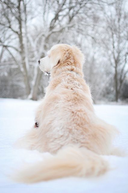 Beautiful winter scene with golden retriever dog in snow