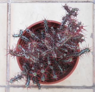 cactus Euphorbia aeruginosa