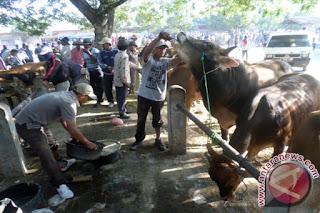 memberi minum hewan ternak setelah membeli dari pasar