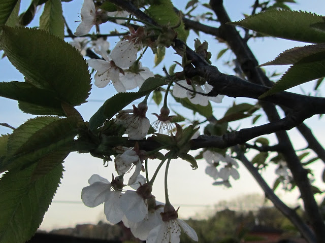 Fiori prunus avium