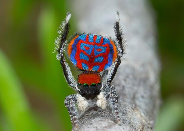 Яскраве забарвлення і візерунки павуків Maratus відіграють важливу роль в шлюбних ритуалах