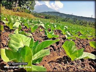 Membuat Pestisida Alami Dari Tembakau